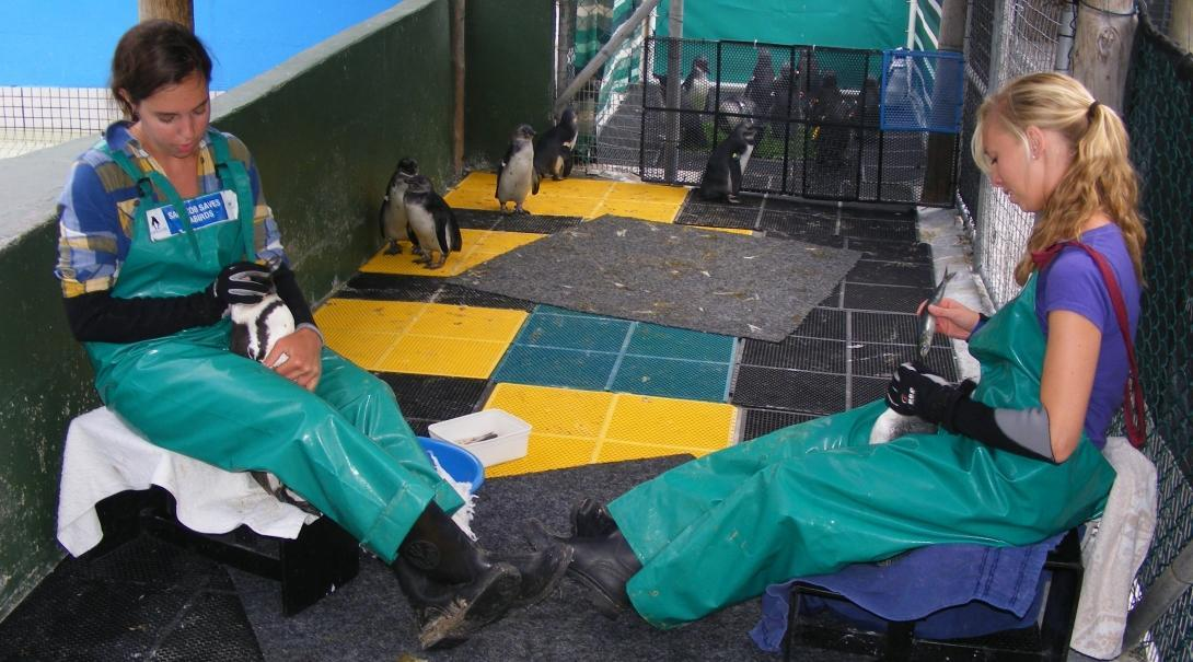 A volunteer working with animals in South Africa helps feed penguins at a rehabilitation centre in Cape Town.